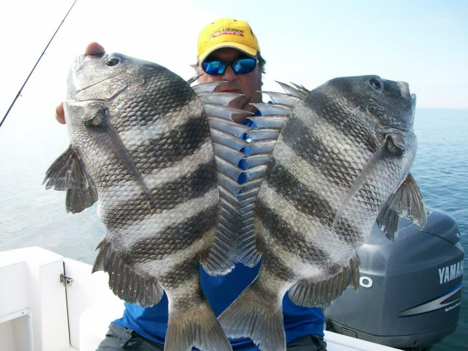 Sheepshead Fish Bing Images