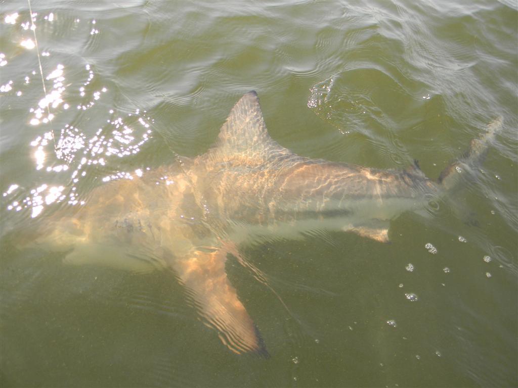 Shark fishing charters from st simons island and jekyll for Shark fishing charters