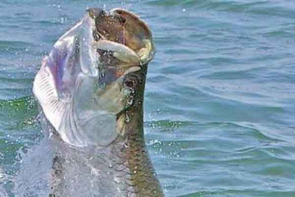 Tarpon fishing charters form st simons island and jekyll for St simons island fishing